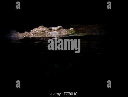 large Saltwater Crocodile waiting for prey - Stock Photo