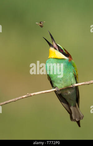 Bee-eater catching bee - Stock Photo