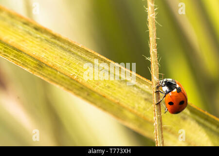 Ladybird on green stem of plant. macro close up image with copy space - Stock Photo