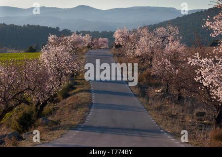 almond trees in blossom nr Elche de la Sierra; Albacete; Castilla la Mancha, Spain - Stock Photo