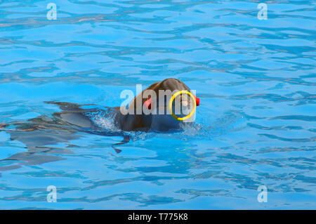 Dolphin Show in Loro Parque, Puerto de la Cruz, Tenerife, Canary Islands, Spain, common bottlenose dolphin (Tursiops truncatus) - Stock Photo