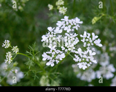 Coriander aka: cilantro plant (Coriandrum sativum) in bloom. In the US, the edible green leaves are known as cilantro and the seeds coriander. - Stock Photo