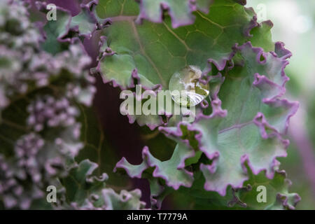 High surface tension on a kale leaf beads water, aka: the lotus effect - Stock Photo