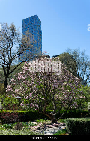 Magnolia tree in Central Park during spring time with skyscraper in background, Upper Manhattan, New York City, USA - Stock Photo