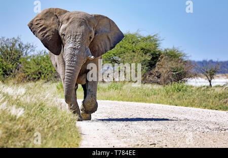 Elephant running at the street, Etosha National Park, Namibia, (Lo - Stock Photo