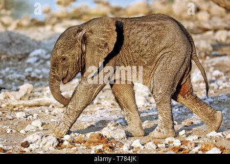 very young elephant, Etosha National Park, Namibia, (Loxodonta africana) - Stock Photo