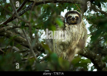 Three-toed sloth in a tree hanging
