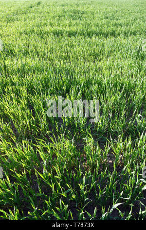 Young green wheat, wheat. Closeup. Agriculture, food, bread. - Stock Photo