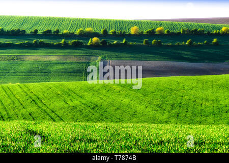 Green wheat fields. Agricultural land. Treated spacious field in the plane. A row of green trees between the fields. - Stock Photo