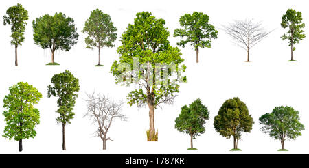 isolated big tree on white background, full resolution tree in big collection - Stock Photo