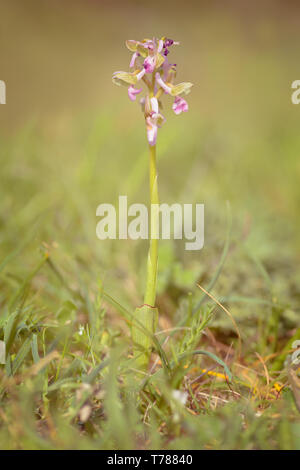 Anacamptis morio, the green-winged orchid or green-veined orchid synonym Orchis morio, is a flowering plant of the orchid family, Orchidaceae. It usua - Stock Photo