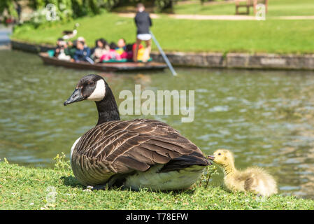 Canadian goose with newly born baby gosling on the banks of the river Cam with punting to the rear in the backs of Cambridge, England, UK. - Stock Photo