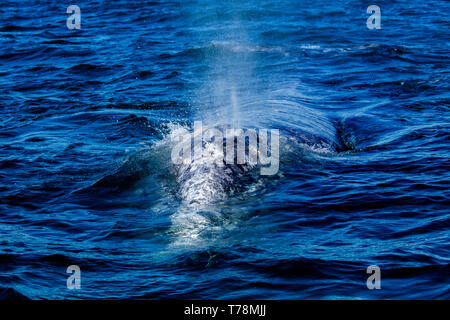 Gray whale / Gray Whale (Eschrichtius robustus) on their migratory journey to Baja California, with lagoons as their breeding ground in winter. - Stock Photo