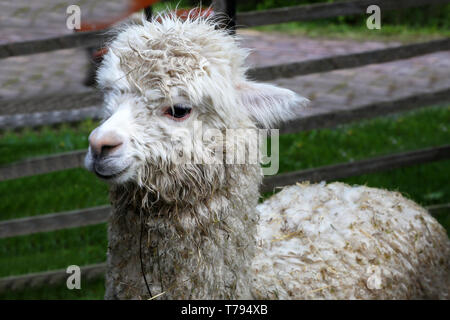 White funny alpaca looking at the camera on green field. - Stock Photo