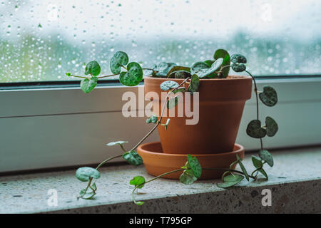 Baby plant String of Hearts on a window shelf on a rainy day - Stock Photo