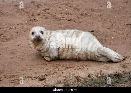 A very young grey seal pup lying on the beach at Donna Nook and looking at camera. The umbilical cord is still attached and visible - Stock Photo