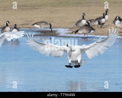Bewick's swan (Cygnus columbiana bewickii) preparing to land on a frozen marshland pool with Canada geese (Branta canadensis) in the background, Glouc - Stock Photo