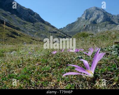 Pyrenean merendera / False meadow saffron (Merendera pyrenaica / Colchicum montanum) flowering on montane pastureland, Picos de Europa, Spain, August. - Stock Photo