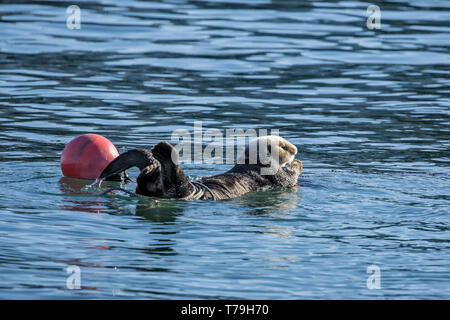 Sea Otter (Enhydra lutris) entangling itself to strings to prevent itself from drifting away, Monterey Bay, California - Stock Photo