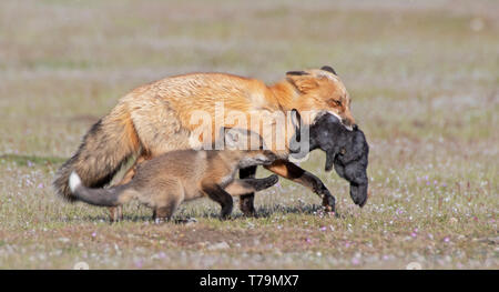 A red fox vixen catches a rabbit with kit