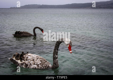 Two black swans with red beaks swimming in a blue lake, mountain range in the backround, New Zealand - Stock Photo