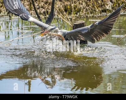 Grey Heron catching eel - Stock Photo
