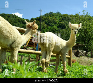 Two white domestic alpacas standing on the garden meadow in a bright summer sunny day. - Stock Photo