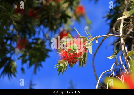 Weeping Bottle Brush flower against the blue sky, Callistemon Viminalis - Stock Photo