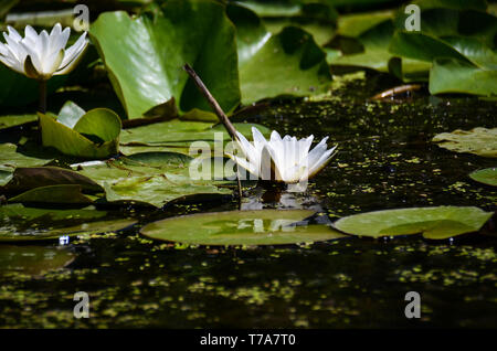A flower of white water lilies next to large green leaves in a natural environment. Close-ups - Stock Photo