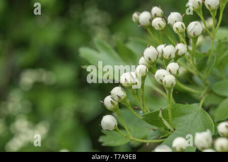 White flower buds of Common Hawthorn tree / Crataegus monogyna. May blossom, hedgerow blossom concept. - Stock Photo