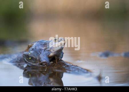 Wildlife photo of The Moor frog Rana arvalis - Stock Photo