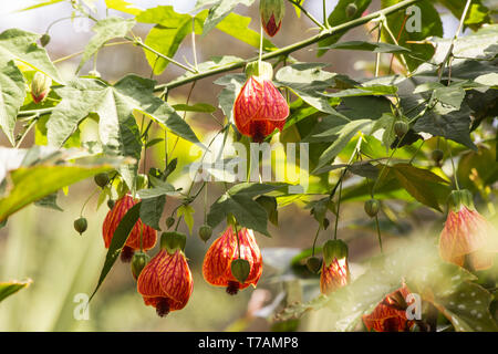 Red Vein Indian Mallow (Abutilon Pictun) on natural background - Stock Photo