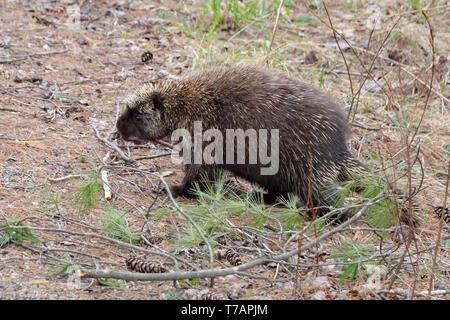 A North American porcupine, Erethizon dorsatum, wandering through the Adirondack Mountains, NY USA wilderness. - Stock Photo