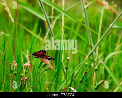 an scarlet peacock butterfly on the Grass field near jardín antioquia - Stock Photo