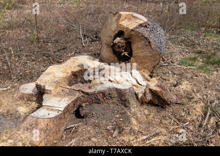 Mossy tree trunk. overgrown trunk of a deciduous tree. Season of the spring. - Stock Photo