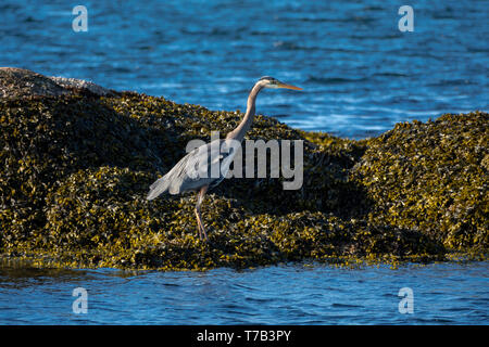 A Great Blue Heron on rocks covered with seaweed at Cattle Point in Oak Bay near Victoria, British Columbia, Canada. - Stock Photo