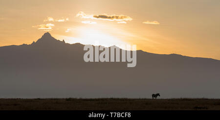 view of Mount Kenya, strong sunrise with backlit clouds, single zebra silhouetted in foreground, wide format, from Laikipia Kenya Africa - Stock Photo