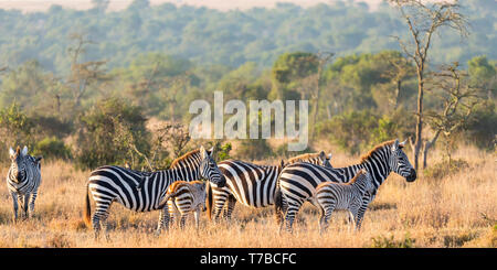 A small herd of Plains zebra in open grassland looking across, side view, wide landscape format, Ol Pejeta Conservancy, Laikipia, Kenya, Africa - Stock Photo