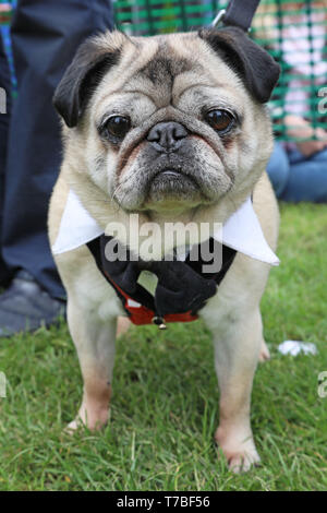 London, UK. 5th May 2019. Alfie the Pug at the All Dogs Matter Bark Off charity dog show, Hampstead Heath, London, England. Cute dogs took part in several categories of this annual dog show which is run by the charity which houses and rehomes dogs in London and finds homes for dogs from overseas. Dogs competed to be cutest pup, best rescue and more. More information at www.alldogsmatter.co.uk Credit: Paul Brown/Alamy Live News - Stock Photo
