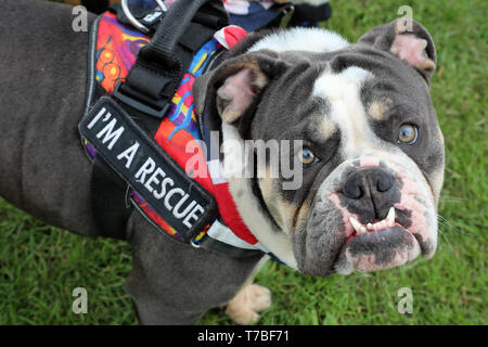 London, UK. 5th May 2019. Herbert the English Bulldog in the best rescue category at the All Dogs Matter Bark Off charity dog show, Hampstead Heath, London, England. Cute dogs took part in several categories of this annual dog show which is run by the charity which houses and rehomes dogs in London and finds homes for dogs from overseas. Dogs competed to be cutest pup, best rescue and more. More information at www.alldogsmatter.co.uk Credit: Paul Brown/Alamy Live News - Stock Photo