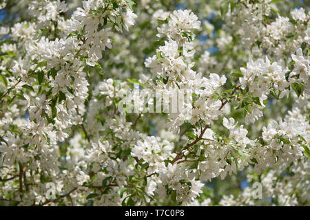 Shot of blooming apple tree crown with white flowers. Apple-tree in bloom. Natural Spring flower floral backgound - Stock Photo