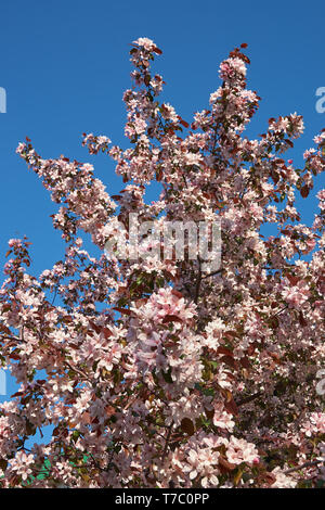 Shot of blooming apple tree crown with pink flowers. Apple-tree in bloom. Natural Spring flower floral backgound - Stock Photo