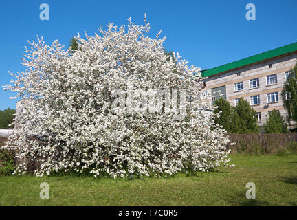 Shot of blooming apple tree crown with pink flowers. Institute of Cytology and Genetics building on the background - Stock Photo