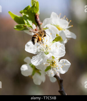 BEE Apoidea looking for nectar and pollen at a blooming plum tree - Stock Photo