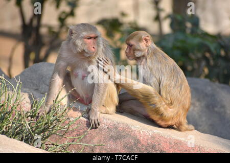 Assuring Hand on Shoulder : A young Rhesus Macaque monkey with a female adult resting together with blurry background - Assurance and Love concept - Stock Photo