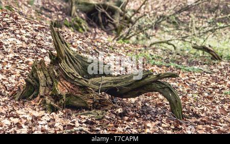 dead tree root in a forest near Neundorf a.d. Eigen, Saxony/Germany - Stock Photo