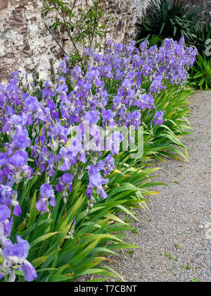 Massed display of the hardy perennial Iris pallida ssp pallida, an early flowering tall bearded iris - Stock Photo