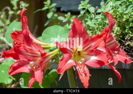 flowering red and white Hippeastrum flower. (Sometimes called incorrectly, amaryllis). Photographed in Israel in January - Stock Photo