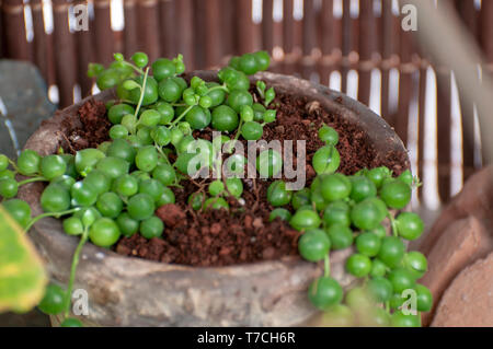 Senecio rowleyanus, commonly known as string-of-pearls or string-of-beads, is a creeping, perennial, succulent vine belonging to the family Asteraceae - Stock Photo