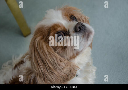 Cavalier King Charles Spaniel dog breed retains the sporty nature of his spaniel ancestors. - Stock Photo